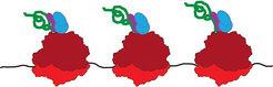 <p><strong>Abb. 1: Proteinherstellung – schematische Darstellung</strong><br />Ribosomen (rot) lesen eine Boten-Ribonukleinsäure (schwarz). Die entste