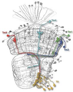 Klarheit im Zelldickicht. Vier Nervenzelltypen (Tm9, 4, 1 und 2) sind entscheidend an der Berechnung richtungsselektiver Signale in T5-Neuronen (gelb)